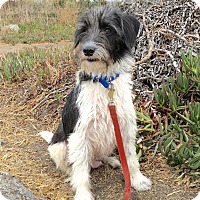 Terrier (Unknown Type, Small)/Schnauzer (Miniature) Mix Dog for adoption in Emeryville, California - RACHEL