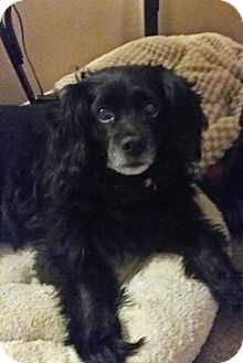 Pomeranian/Cocker Spaniel Mix Dog for adoption in Oakhurst, New Jersey - Weezie - Courtesy Posting