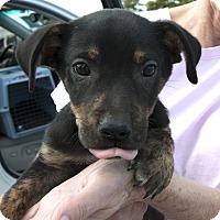 Adopt A Pet :: Mattson - Plano, TX