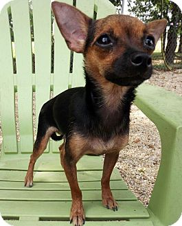 Chihuahua/Terrier (Unknown Type, Small) Mix Dog for adoption in LAFAYETTE, Louisiana - MILEY