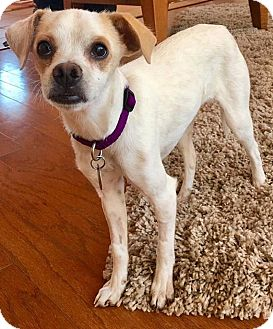 Chihuahua Mix Dog for adoption in Tijeras, New Mexico - Phoenix