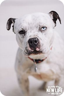 Staffordshire Bull Terrier Rescue Oregon Ursula | Adopted Dog |...