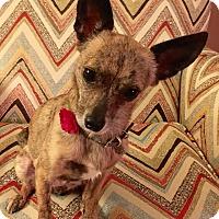 Adopt A Pet :: Gracie - Flossmoor, IL