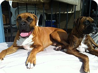 Boxer Dog for adoption in Lake Forest, California - Pretzel