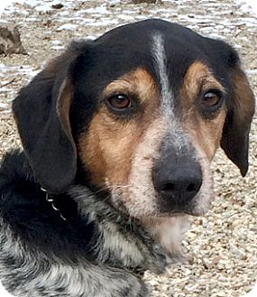 Beagle Bluetick Coonhound Mix