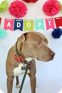 Labrador Retriever/Shar Pei Mix Dog for adoption in Macon, Georgia - Rain