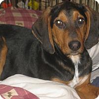 Adopt A Pet :: Dopey - Portland, ME