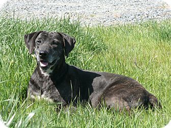 Plott Hound/Labrador Retriever Mix Dog for adoption in Texarkana, Texas - Lady