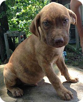 Labrador Retriever/Boxer Mix Puppy for adoption in Louisville, Kentucky - Jasper