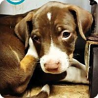 Adopt A Pet :: Maddison - Kimberton, PA