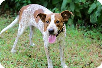 Hound (Unknown Type)/Pointer Mix Dog for adoption in Portland, Maine - FREDDY FRECKLES