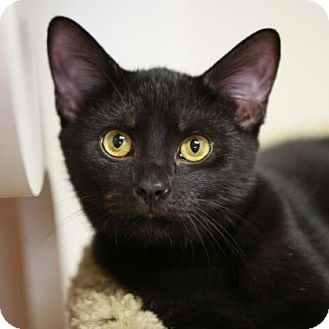 Domestic Shorthair Kitten for adoption in Kettering, Ohio - Tyra
