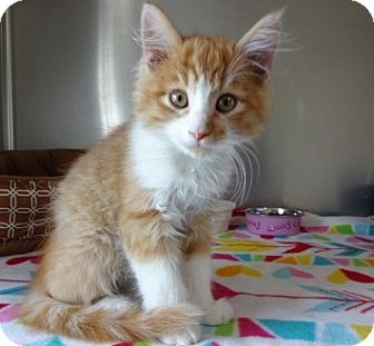 Domestic Mediumhair Kitten for adoption in Lathrop, California - Wriggley