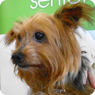 Yorkie, Yorkshire Terrier Dog for adoption in St Louis, Missouri - Sparky