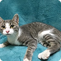 Domestic Shorthair Cat for adoption in Watauga, Texas - Faron