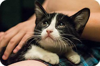 Domestic Shorthair Kitten for adoption in San Jose, California - Tobi