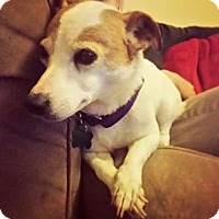 Jack Russell Terrier Mix Dog for adoption in Mount Laurel, New Jersey - Angel
