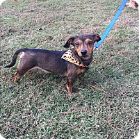 Dachshund Mix Dog for adoption in Pulaski, Tennessee - Nelson