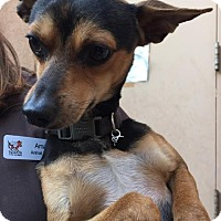 Miniature Pinscher Mix Dog for adoption in Westminster, California - Delucca
