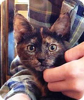 Domestic Shorthair Kitten for adoption in Centreville, Virginia - Truffles