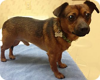 Chihuahua/Dachshund Mix Dog for adoption in Clifton Forge, Virginia - Scooby