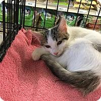 Adopt A Pet :: Tracey - Gilbert, AZ