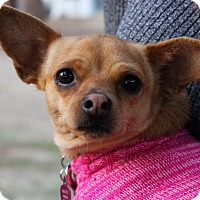 Chihuahua Mix Dog for adoption in Santa Clarita, California - Pixie