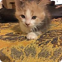 Adopt A Pet :: Penelope - Fenton, MO