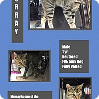 Adopt A Pet :: Murray - CLEVELAND, OH