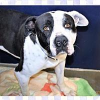 Adopt A Pet :: Pit male X - San Jacinto, CA