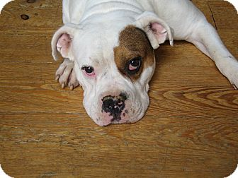 English Bulldog American Bulldog Mix Pictures to Pin on ...