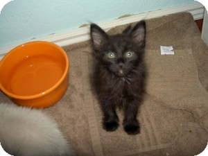 Domestic Mediumhair Kitten for adoption in Gilbert, Arizona - Fozzy