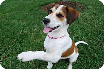 Beagle Mix Puppy for adoption in Bedminster, New Jersey - Libby