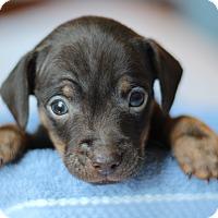 Adopt A Pet :: Chica's Pup- Clark - Romeoville, IL