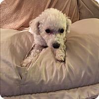 Adopt A Pet :: Kiki - Playa Del Rey, CA
