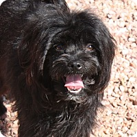 Adopt A Pet :: Shayla - Henderson, NV