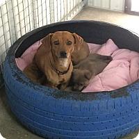 Adopt A Pet :: Daphne - Woodward, OK
