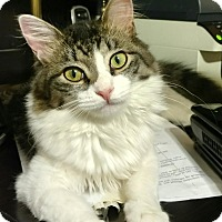 Adopt A Pet :: Bacall - Cranford/Rartian, NJ