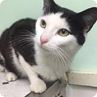 Domestic Shorthair Cat for adoption in Canastota, New York - Mango