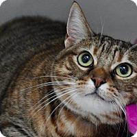 Domestic Shorthair Cat for adoption in Long Beach, California - Tiger