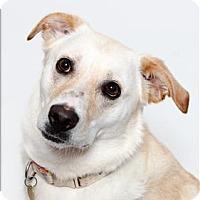 Labrador Retriever Mix Dog for adoption in San Luis Obispo, California - Kyra