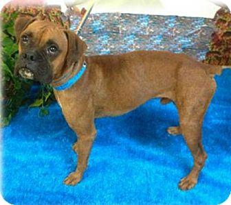 Boxer Dog for adoption in Austin, Texas - Bramble