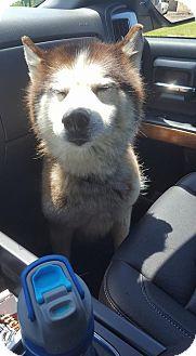 Siberian Husky Mix Dog for adoption in Shingleton, Michigan - Calvin