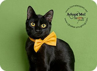 Domestic Shorthair Cat for adoption in Houston, Texas - Jack