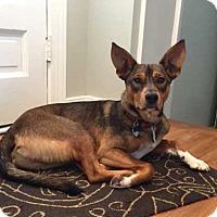Shepherd (Unknown Type) Mix Dog for adoption in Portland, Maine - BEAU