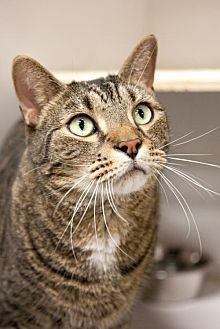 Domestic Shorthair Cat for adoption in Stafford, Virginia - Murray