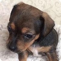 Adopt A Pet :: Darcy Dabinett - Houston, TX