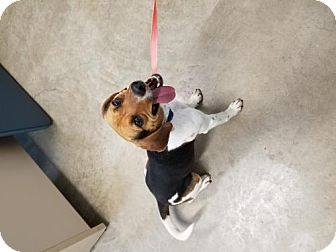 Beagle Dog for adoption in Knoxville, Iowa - Lil' Squirt