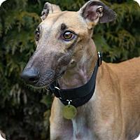 Adopt A Pet :: Gilbert - Seattle, WA