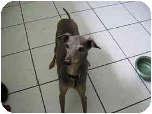 Italian Greyhound Dog for adoption in San Diego, California - Romeo - OC